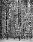 1972 Vintage ANSEL ADAMS 14X11 MATTED Photo Engraving, Pine Forest Snow Yosemite