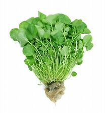 Nasturtium officinale WATERCRESS❋1000 SEEDS❋Perennial❋Aquatic❋Culinary❋Medicinal