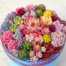 200 Rare Beauty Succulents Seeds Easy To Grow Potted Flower Seeds Bonsai Seeds