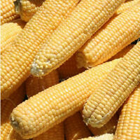 50 Kandy Hybrid Corn Seeds Vegetable
