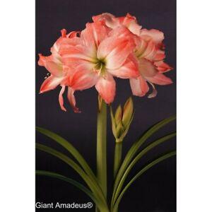 Amaryllis Amaryllises flower 1psc bulb Amaryllis (Hippeastrum) GIANT AMADEUS