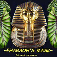 ~PHARAOH'S MASK~ Colocasia esculenta UNIQUE ELEPHANT EAR Live potted small Plant