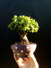 Perfect bonsai - Portulacaria afra - 14 year old For professionals