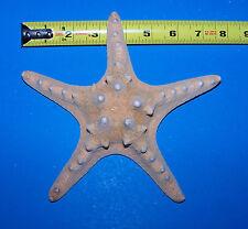 """Real Natural Knobby Starfish Seashells Sea Star 7 1/2"""" Item # 154n"""