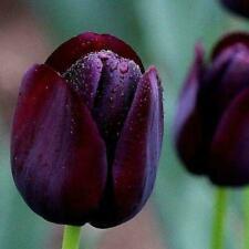 50Pcs/Pack Black-Purple Tulip Flowers Balcony Perennial Garden Plants Decor I8M0