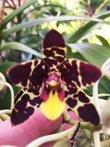ORCHID - Ansellia Africana 'Manfred' x self - SPECTACULAR SPECIES - FRAGRANT