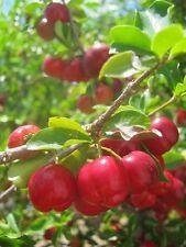 30 Semillas Orgánico Cereza de Barbados (Malpighia emarginata, Acerola) +20 Papaya
