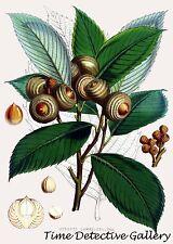 Botanical Illustration of Quercus Lamellosa (Oak)