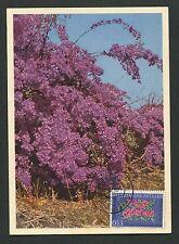 NEDERLANDSE ANTILLEN MK 1964 FLORA BOUGAINVILLEA MAXIMUM CARD MC CM d3712