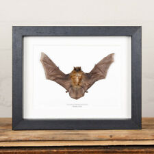 More details for taxidermy bamboo bat in box frame (tylonycteris pachypus)