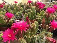 1 Cuttings Peanut Cactus Echinocereus Pups Pink Flowers Echinopsis Rare Red