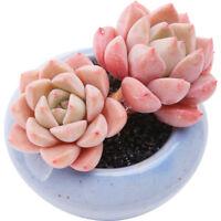 Succulent Live Plants- Echeveria Pretty in Pink 4cm - Home Garden Rare Plant