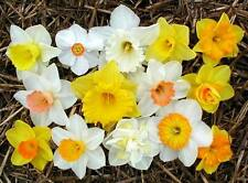 New listing Narcissus Seeds Daffodils seeds 100 seeds mix color