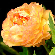 Golden Yellow Peony Tree Flower Seeds, 5 Seeds /Pack, Strong Fragrant Big Blooms