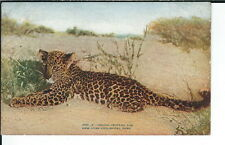 Ay-296 - India Leopard Cub, New York Zoological, 1907-1915 Golden Age Postcard