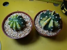 2 Echinopsis VARIEGATA special aurea OWN ROOT copiapoa aztekium ritteri copiapoa