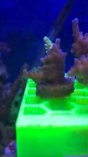 New listing live coral Frag Wysiwyg Green Polyp Stag horn 1� Frag.