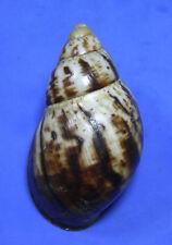 Formosa/shells/Archachatina marginata 127.9mm.nature lip.
