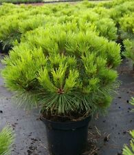Pinus nigra Pierrick Bregeon (R) 30-40, Kugelkiefer, max. 100-120cm hoch und br.