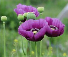 500 + POPPY FLOWER Hungarian tall purple / Persian blue seedsPapaver Somnniferu
