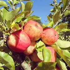 🍎Delicious Royal Apple Tree🍎10-Fresh Seeds🍎Juicy & Sweet🍎UK  Seller🍎]