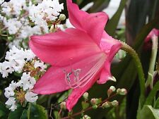 Crinum Lily, Code Red, large blooming-size bulb