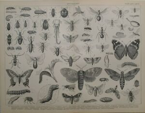 1886 Aufdruck Entomologie Boring Käfer Brown Ant Hawk Motte Weide Silkworm Biene