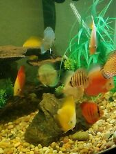 New listing Discus Fish- Assorted Colors - Buy 5 Get 5 Free - Free Shipping!