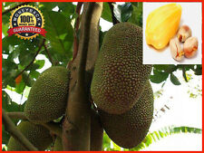 20pcs Honey Jackfruit Seeds Tropical Fruit Seed,Garden Plant Seeds