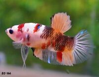BS166 -Live Betta Fish High Quality Halfmoon Plakat HMPK Galaxy Koi - USA Seller