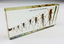 Real Grasshopper Lifecycle Specimens In Lucite Paperweight Education/Collection