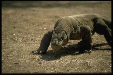 446015 Komodo Dragon Komodo Parque Nacional A4 Foto Impresión