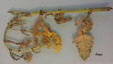 Ölpflanzen (I), gepresste Pflanzen für Herbarium, frei wählbar