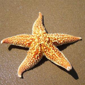NE_ 2Pcs Natural Starfish Sea Star shell Aquarium Landscape DIY Craft Home Decor