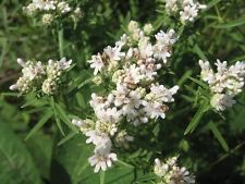 400 HAIRY MOUNTAIN MINT Pycnanthemum Pilosum Herb Seeds
