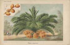 Botanica - cromolitografia originale francese fine '800 - Phoenix canariensis