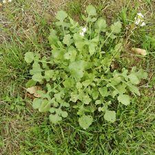 200 Samen Wasabi-Rauke Scharfer Rucola Wilde Rauke Salat winterhart, mehrjährig