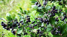Aronia melanocarpa 2,500 seeds Black chokeberry