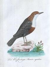 AQUATIC ACCENTOR North America Bechstein Hand Coloured Antique Bird Print 1796
