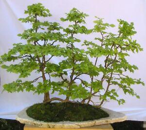5 X Hainbuche Carpinus betulus Pre Bonsai Baum dd
