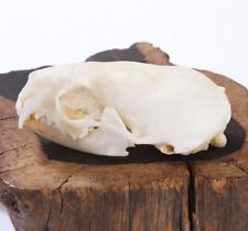 Real mink skulls, fine animal specimens, skull gifts  Medical Research /2