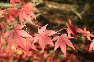 Roter Fächer-Ahorn Acer palmatum atropurpureum Pflanze 5-10cm Fächerahorn