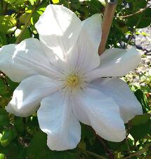 Waldrebe Clematis Hybride Madame Le Coultre 40-60cm großblumiger Sommerblüher
