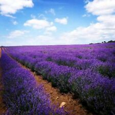 LAVENDER SEEDS 50+ HERBS perennial garden Plants AROMA Culinary FREE SHIPPING