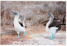 Blue-footed Booby Birds Dance and Flap Wings postcard