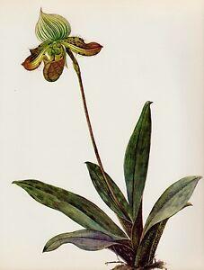 Antique ORCHID Print Vintage Botanical Flower Print Paphiopedilum V. 3163-112