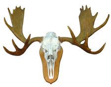 Moose Skull & Antlers European Mount Rack Taxidermy Head
