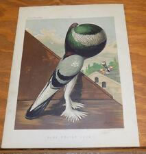 1876 Antique COLOR Pigeon Print///BLUE POUTER COCK