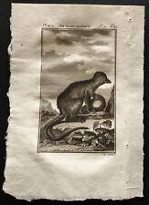1799 - Buffon - Le grand mongous - Gravure zoologie