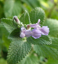 Mint Seed Perfume Catnip Mint Mentha Seed ~1 Bag 40 Seeds~ Free Shipping